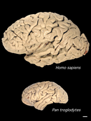 human_chimp_brain